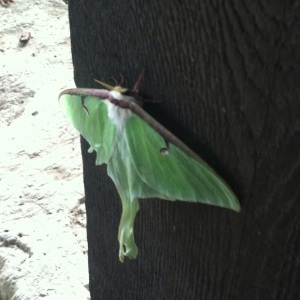 We found this interesting green moth (I have no idea what it is)